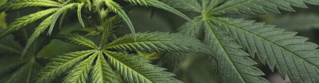 Marijuana plant leaves.